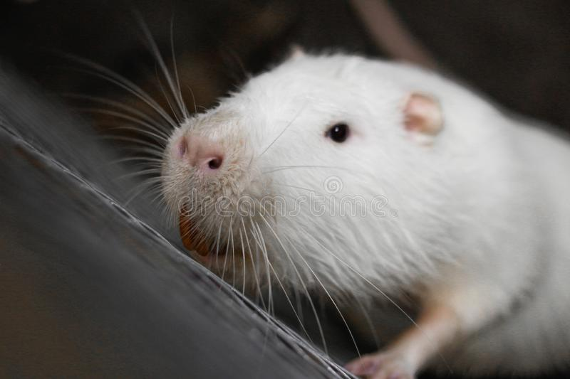 White huge nutria. Big white rat. Close up.  royalty free stock images