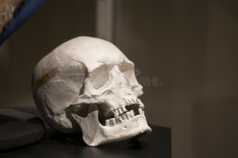 White human skull on the dark background. Exhibition dummy. Item in the museum. stock photography