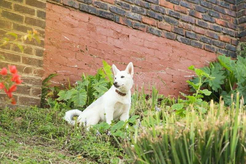 Husky puppy royalty free stock images