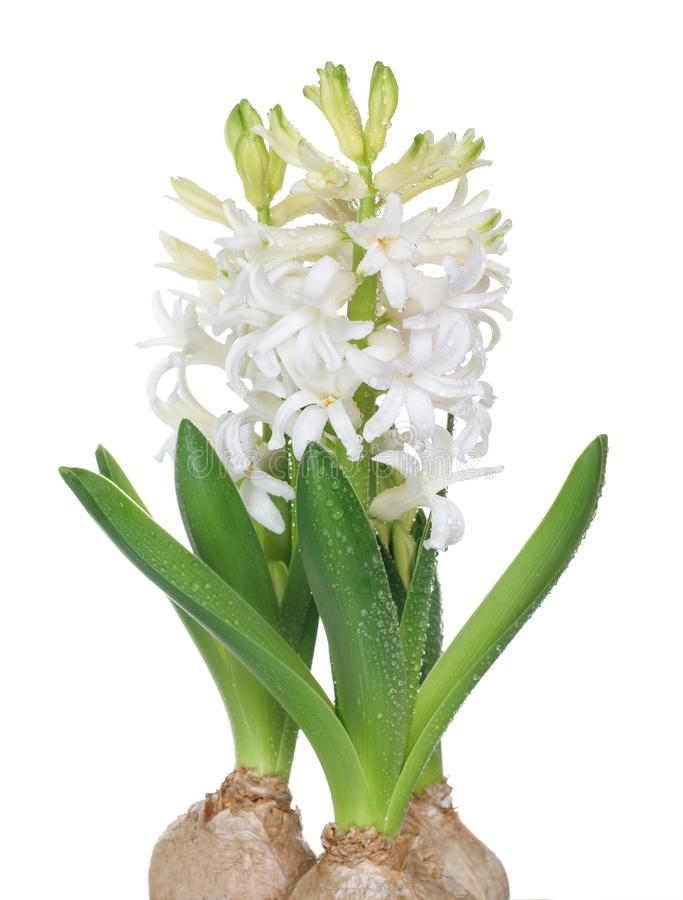 Download White Hyacinth Stock Photo - Image: 13287370