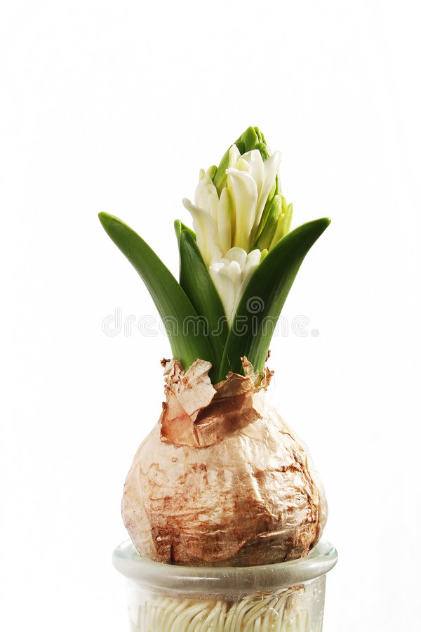 White hyacinth stock images