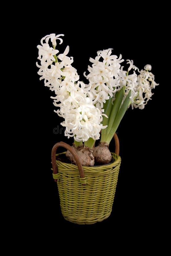 White Hyacinths In Basket Stock Photos