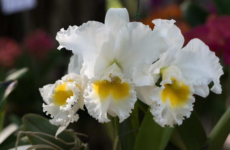 White hybrid cattleya orchid royalty free stock images