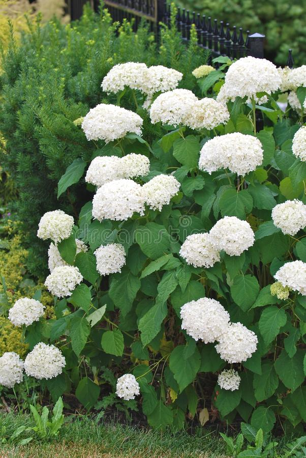 Download White hydrangea stock image. Image of spring, park, green - 23045759