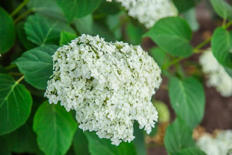 White hydrangea flower. Growing flowers, flower gardening stock images