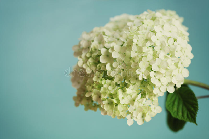 White hydrangea flowers on blue vintage backdrop, beautiful floral background stock images