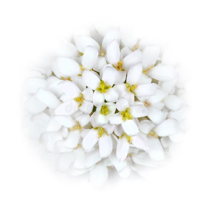 White Iberis Flower Head blending into the White royalty free stock photography