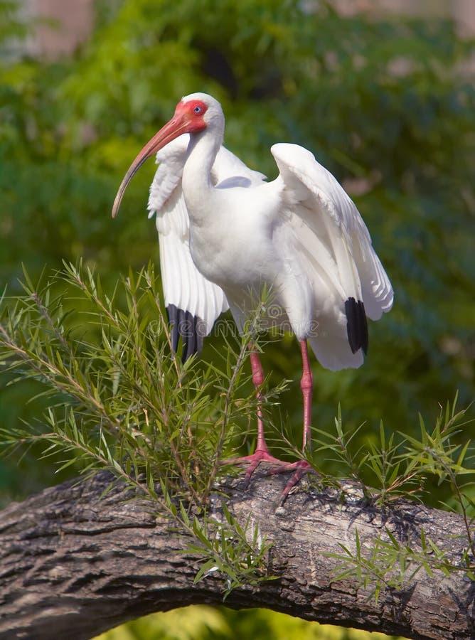 Free White Ibis Royalty Free Stock Photos - 9935608