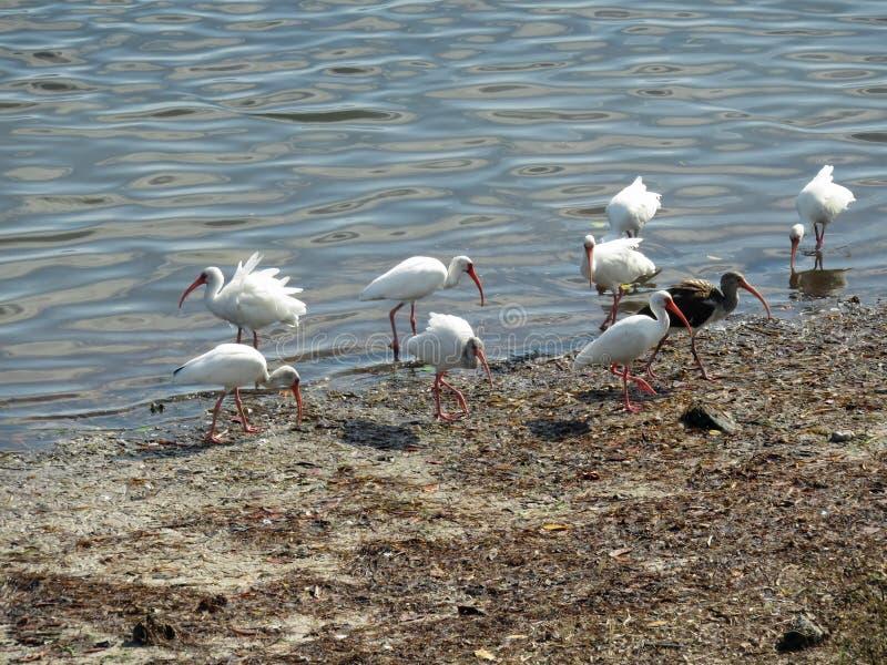 White ibis bids by lake stock photography