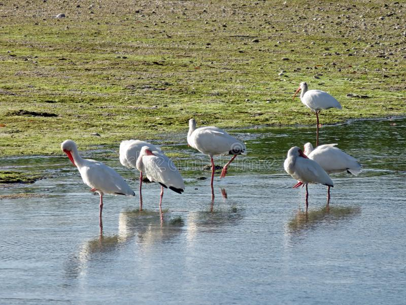 White Ibis Ding Darling Wildlife Refuge Sanibel Florida royalty free stock photos