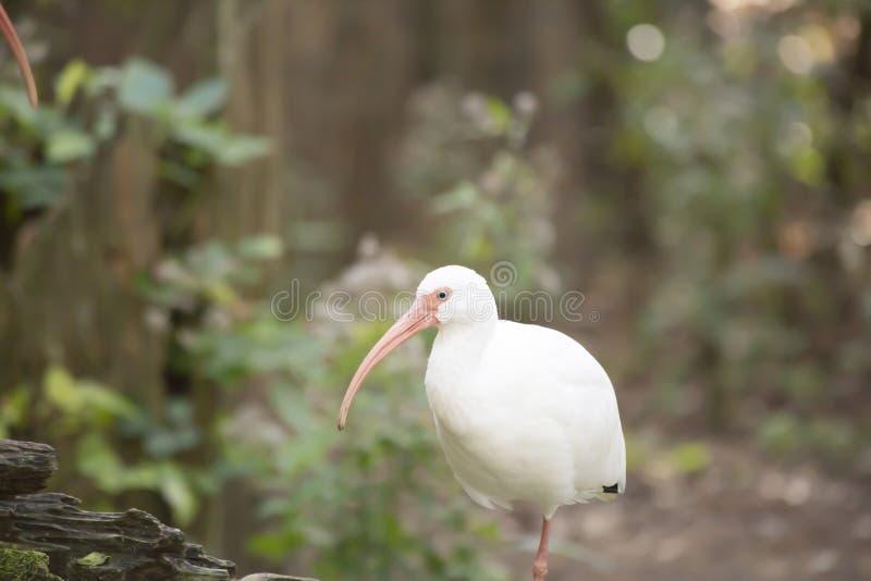 White Ibis. Close up of white ibis royalty free stock image
