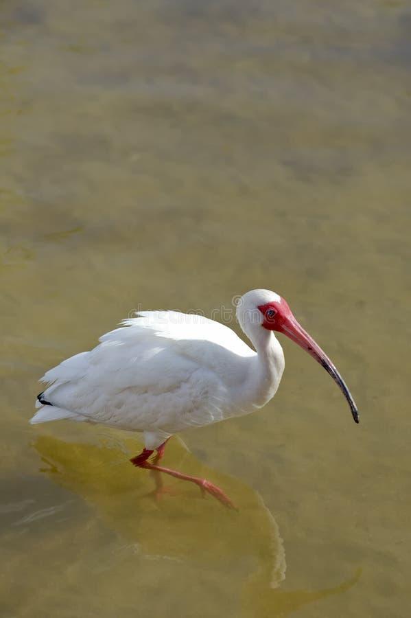 Free White Ibis Crane Stock Photography - 12149182
