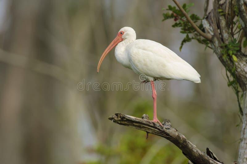 White Ibis (Eudocimus albus) stock photo