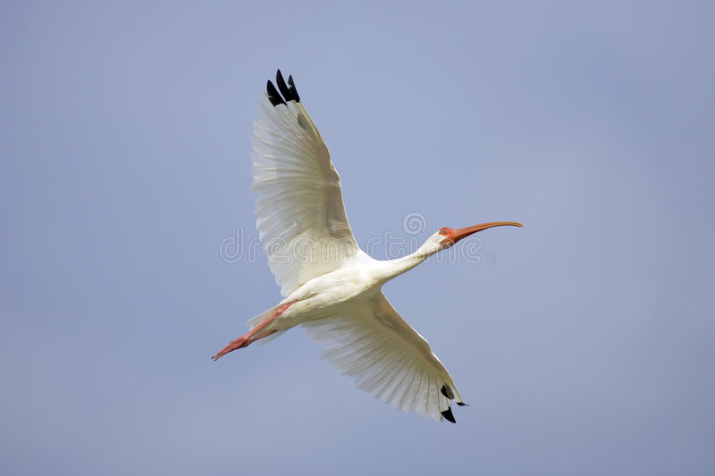 White Ibis flying over a pond stock photo