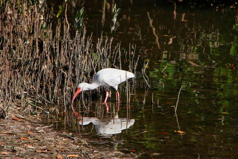White Ibis on marsh royalty free stock image
