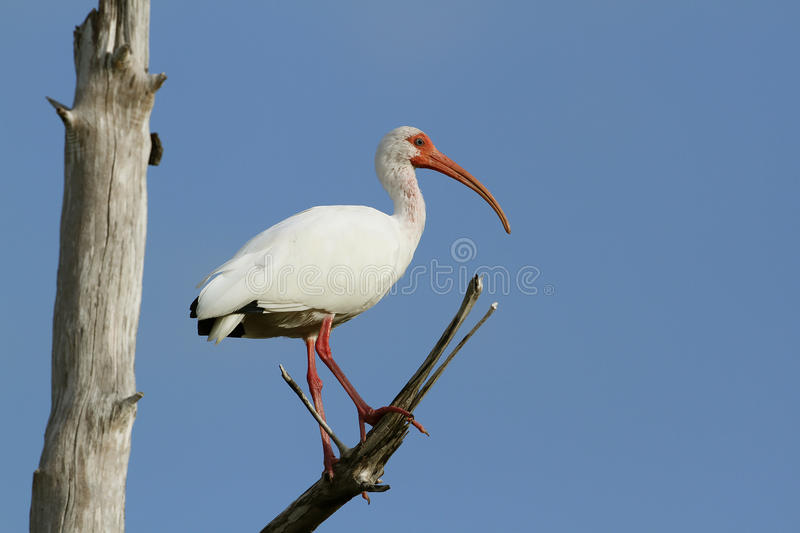 Download White Ibis Perched In A Tree Stock Image - Image: 24052269