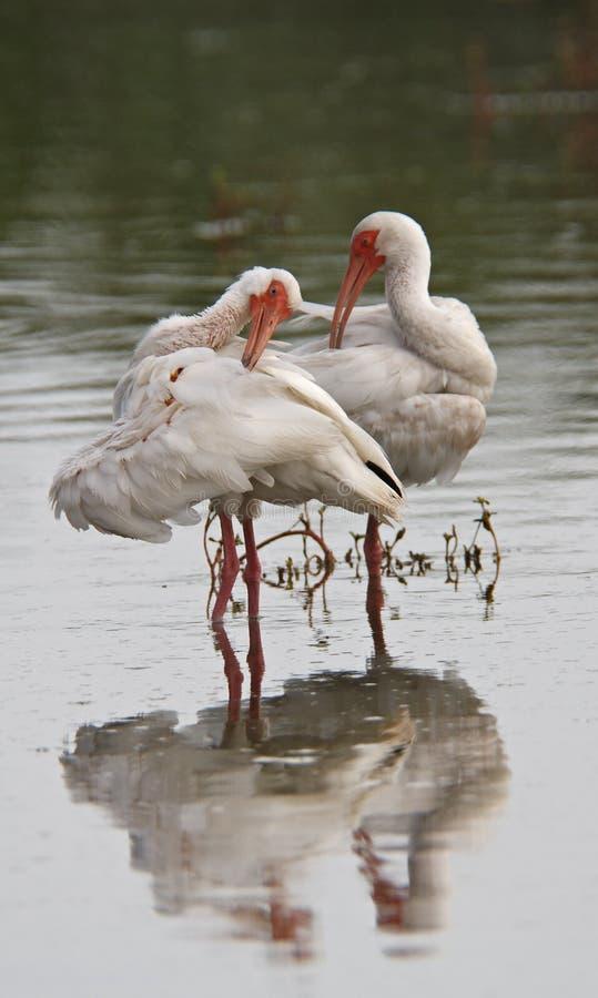 white ibisa zdjęcie royalty free