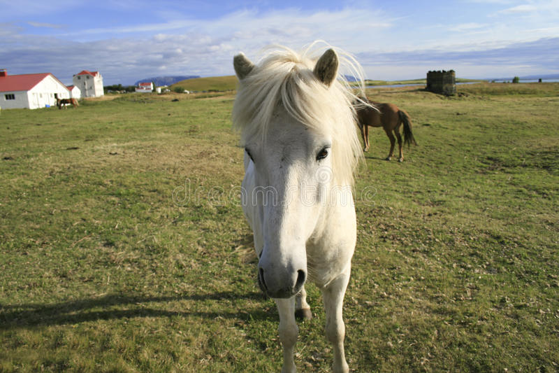 Download White Icelandic pony stock photo. Image of canter, hairy - 15868554