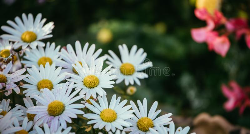 White, innocent daisies / marguerite flowers in spring stock image