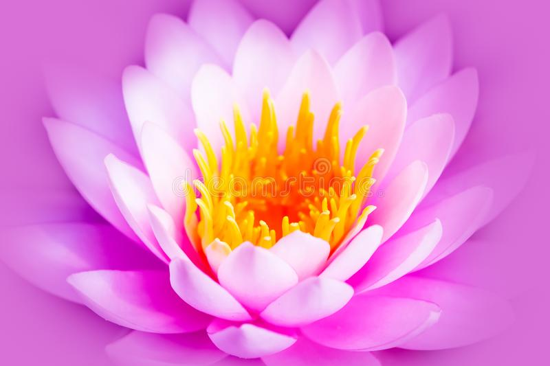 White and intense bright pink lotus flower or water lily with yellow core isolated on a pink purple background stock images