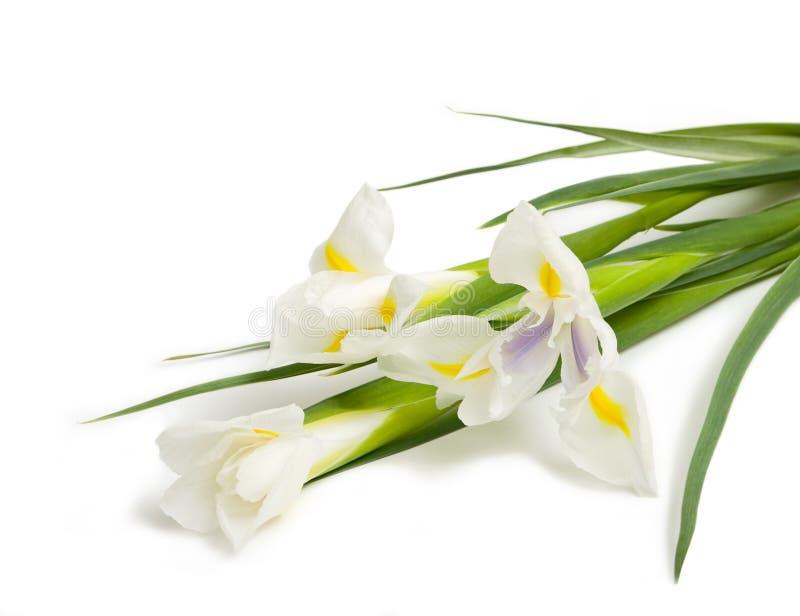 White iris stock photos
