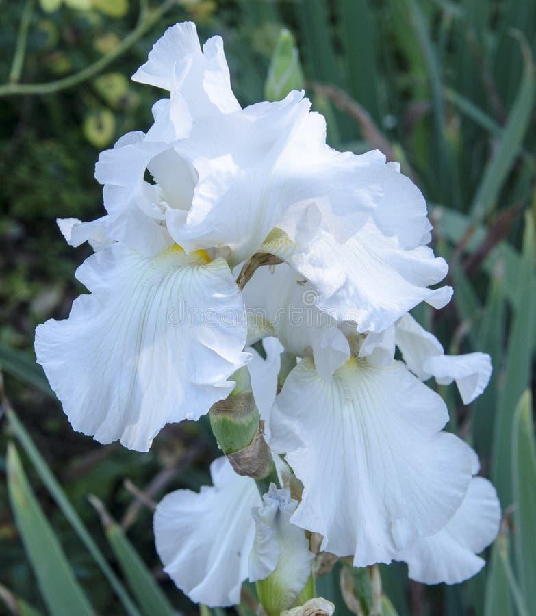 White Iris Bloom 2. White iris bloom in dappled shade stock image
