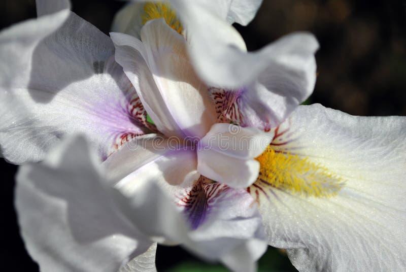 White iris flower blooming, macro close up detail, horizontal background. White iris flower blooming, macro close up detail, blurry dark soil horizontal stock images