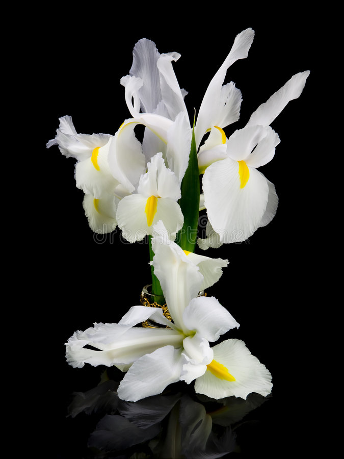 White Irises. This is an image isolated against a black background of a group of graceful white irises royalty free stock photo