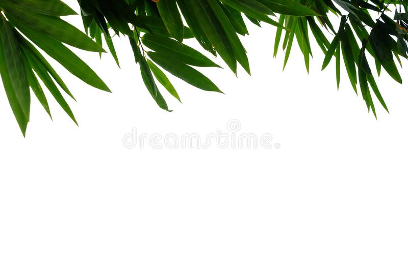 Bamboo leaves on white isolated background. On white isolated background and copy space stock images