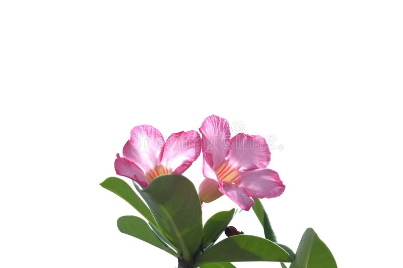 A bouquet of sweet pink adenium flower blossom stock images