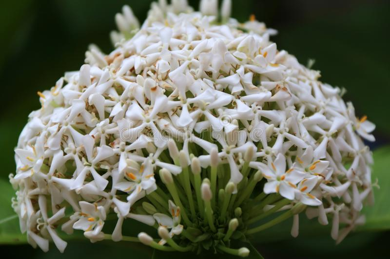 White ixora flower on the tree. West Indian Jasmine the plants possess leathery leaves, ranging from 3 to 6 inches in length. White ixora flower on the tree stock photography