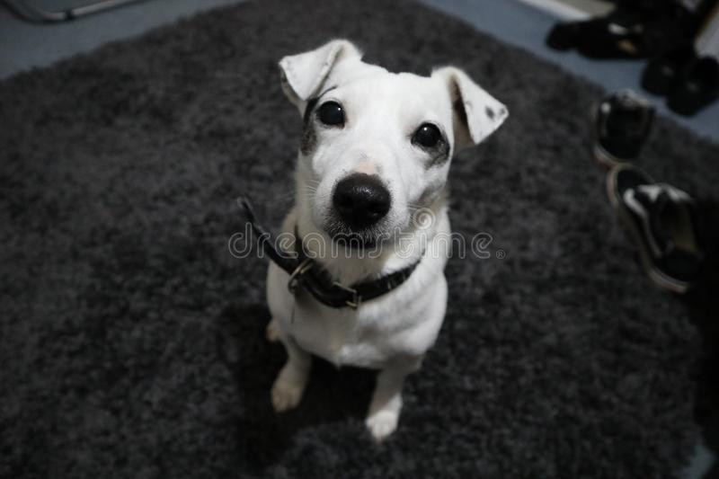 White Jack Russel With Black Collar royalty free stock images