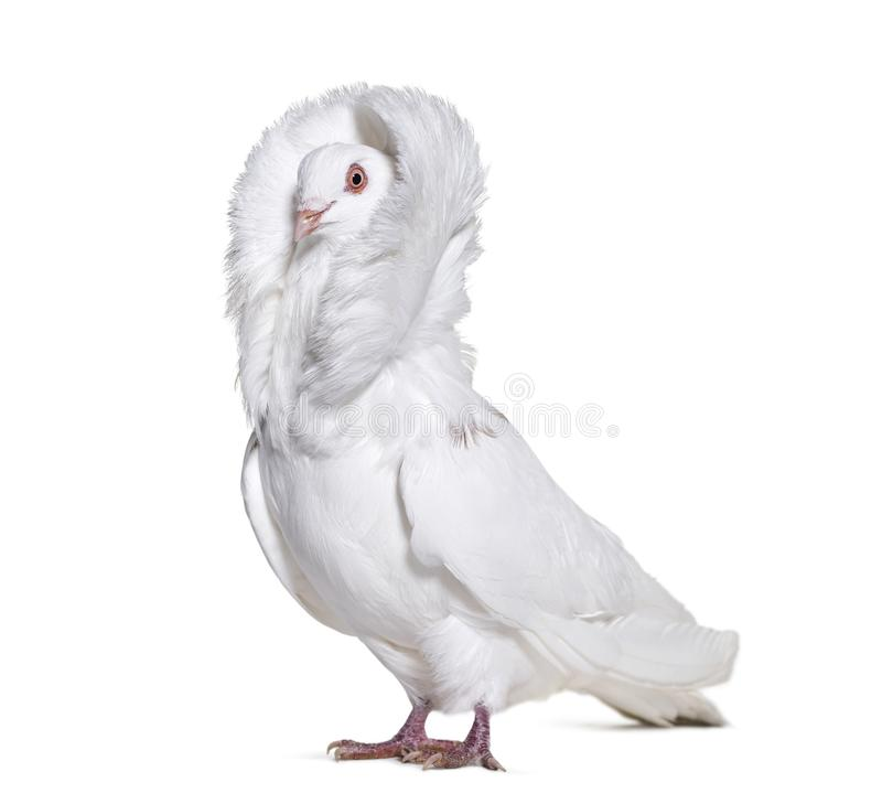 Free White Jacobin Pigeon Standing Against White Background Stock Image - 113970581
