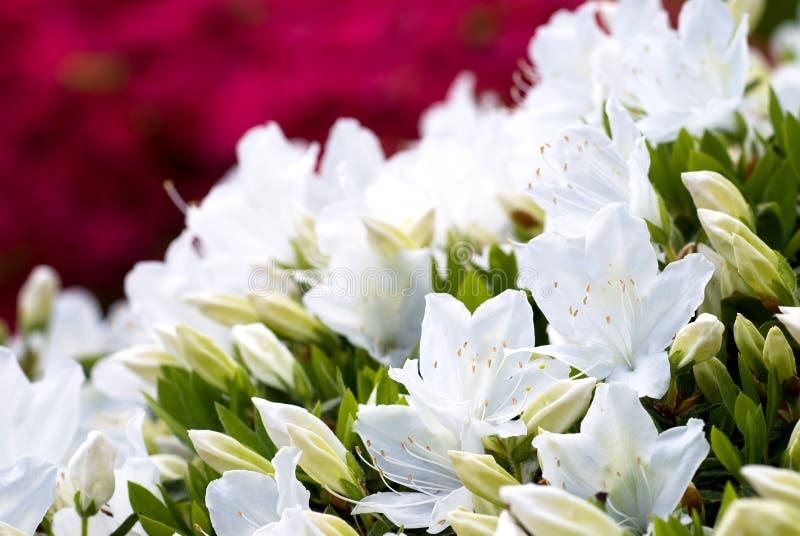 White japanese azalea stock photo