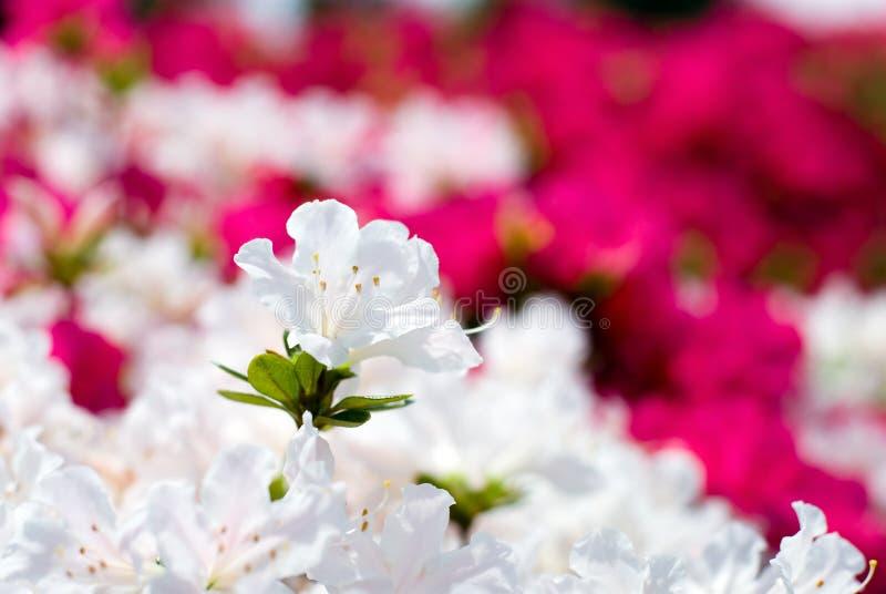 White japanese azalea royalty free stock photography
