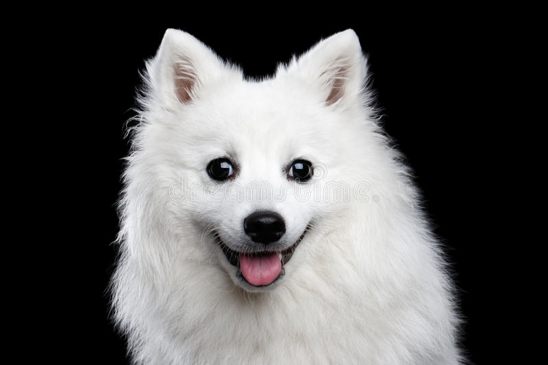 White Japanese Spitz. Portrait of White Japanese Spitz,Funny emotions Dog with Curious face on Isolated Black Background, front view stock image