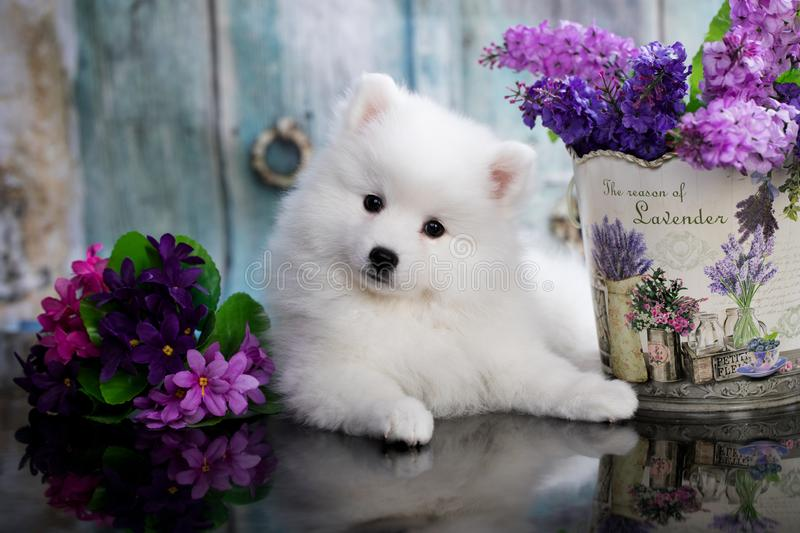 white japanese spitz puppy and flowers stock photos