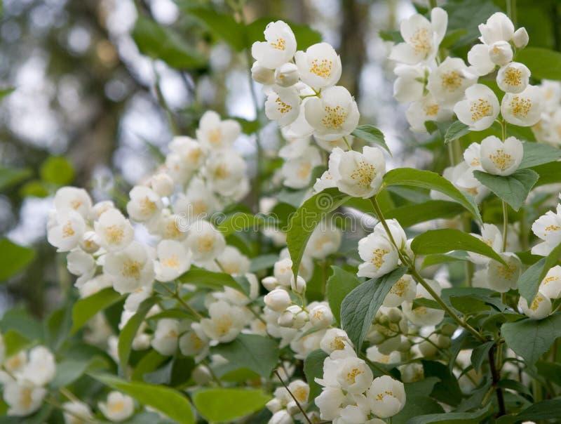 White jasmin flowers. Beautiful white jasmin flowers photo stock photo
