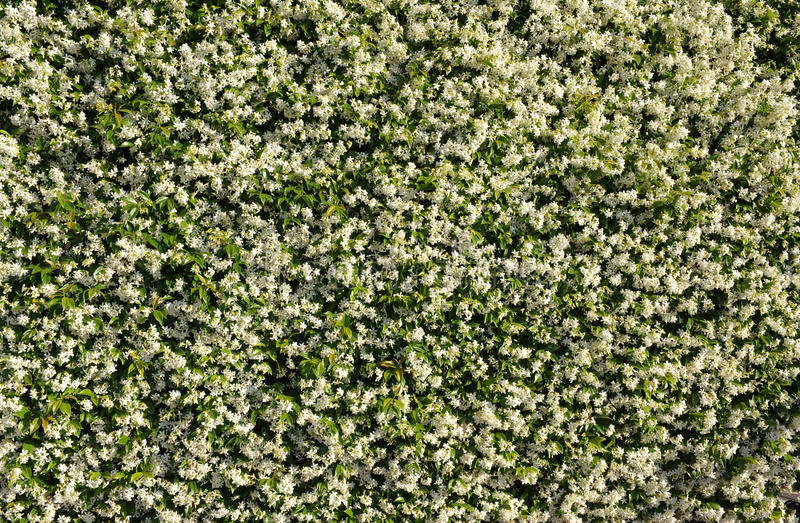 White jasmine background stock image image of flower 41142821 download white jasmine background stock image image of flower 41142821 mightylinksfo