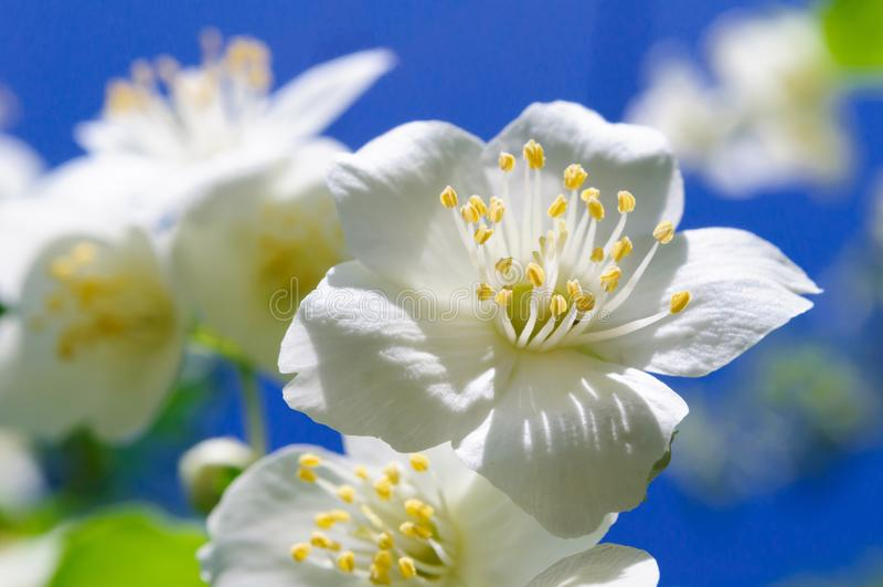 White Jasmine flower on blue sky background. Selective focus, macro stock image