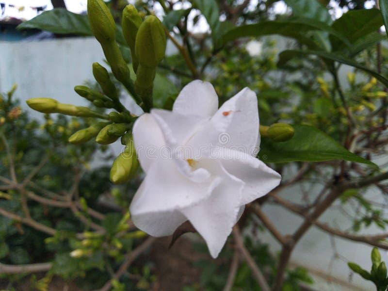 White Jasmine lily flowers in botanical gardens desi flowers. White Jasmine lily flowers in botanical gardens desi flo stock photo