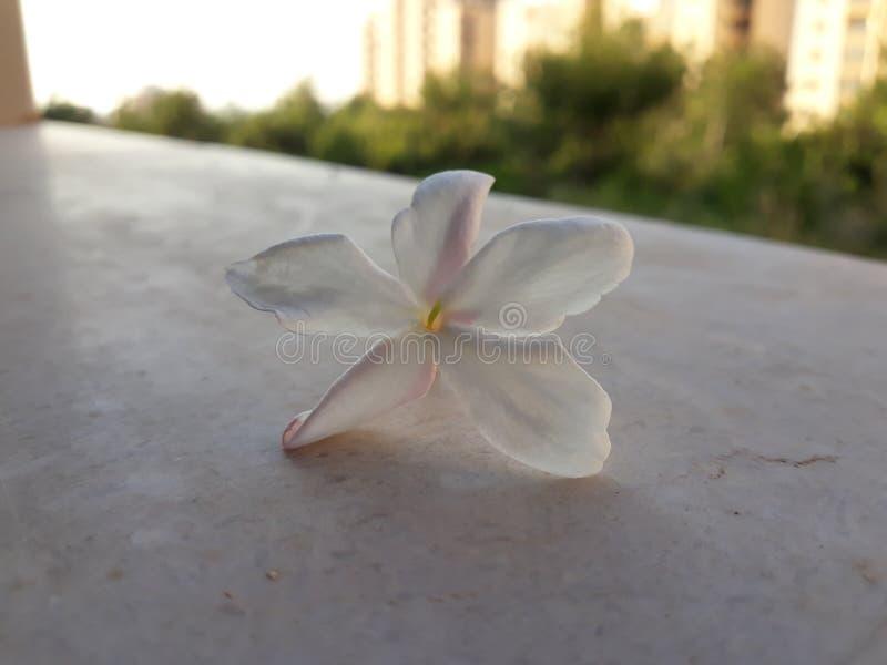 White jasmine royalty free stock photo