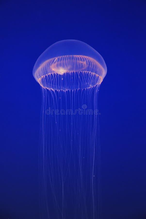 White jellyfish free-floating medusa stock photos