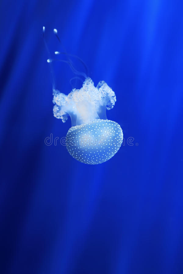 Download White Jellyfish. Genoa Aquarium, Italy. Stock Image - Image: 25614781