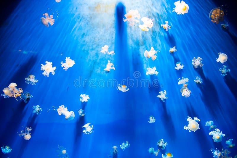 White jellyfish in giant aquarium royalty free stock photography