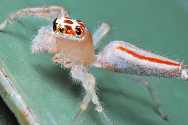 White jumper spider with severed legs stock photography