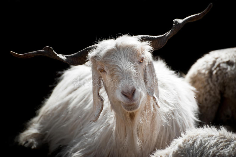 White kashmir goat from Indian highland farm royalty free stock photography