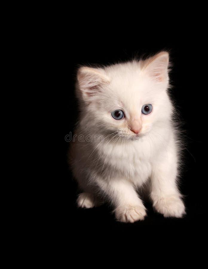 White kitten royalty free stock photos