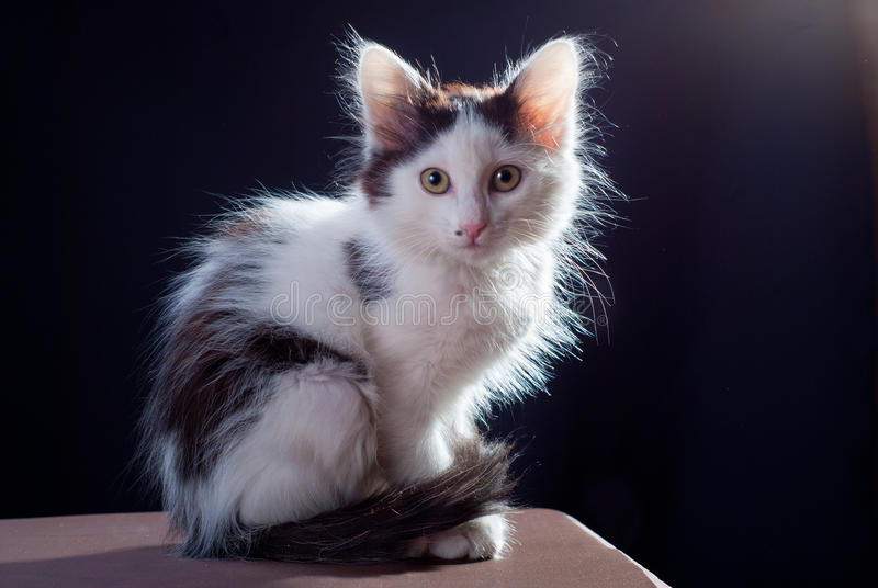 Download White kitten stock photo. Image of adorable, isolated - 23994062