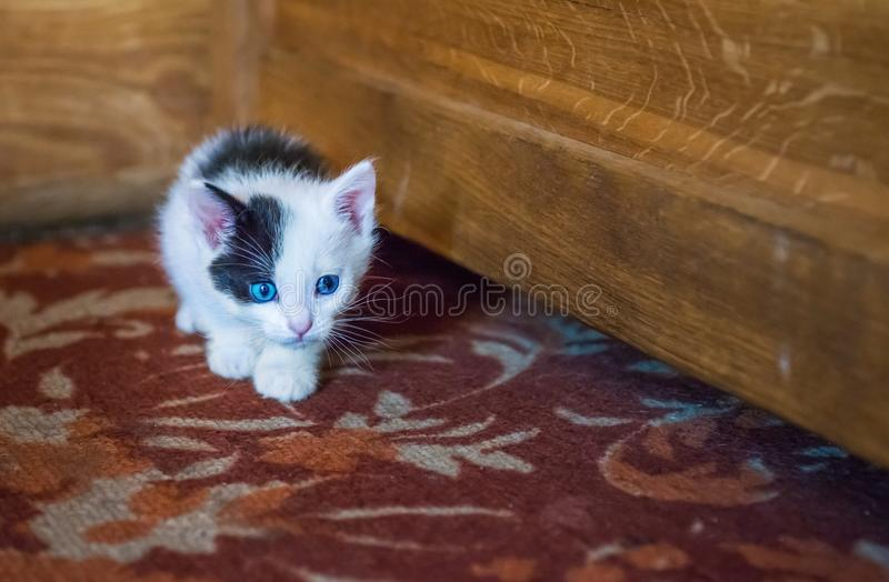 White kitten with a black spot. On the muzzle and blue eyes royalty free stock images